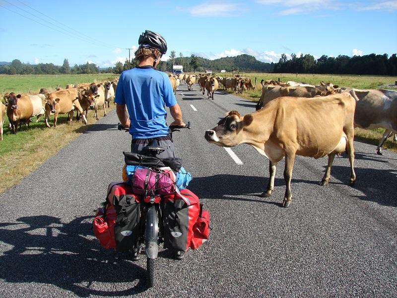 Nieuwsgierige koe/ nosy cow