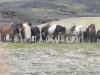 IJslandse paarden/ Icelandic horses