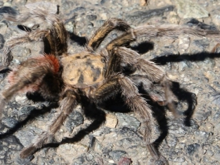 Vogelspin!/ tarantula!