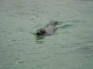 Zeeleeuw in water/ sea lion in water