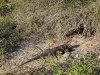 Zeeleguaan/ sea iguana