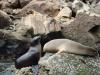 Zeeleeuwen/ sea lions