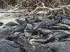Zeeleguanen/ sea iguanas
