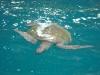 Zeeschildpad/ sea turtoise