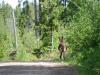 Eland/ moose