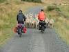 Achter de schapen/ following the sheep