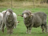 Merino schapen/ sheep