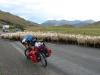 Kudde schapen/ sheep