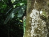 Leguaan/ iguana