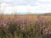 Heide/ heather